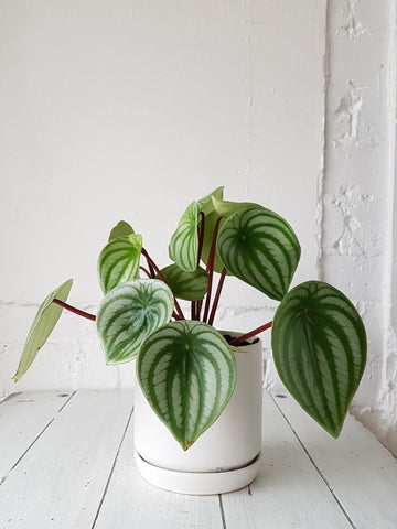 Peperomia Plant in Ceramic Planter