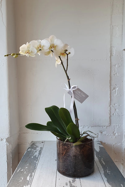 Phalaenopsis Orchid in white glass cylinder planter
