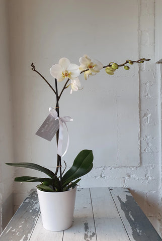 Phalaenopsis Orchid in white ceramic planter