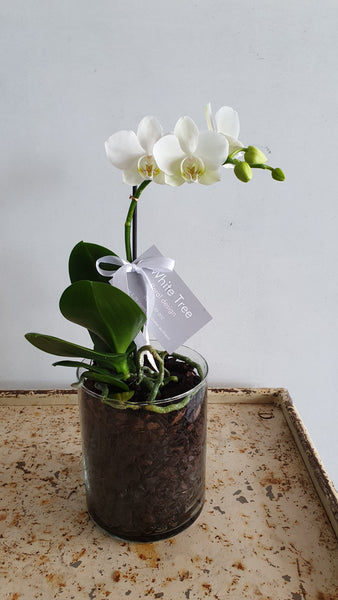 Mini Phalaenopsis Orchid Plant in Glass Cylinder