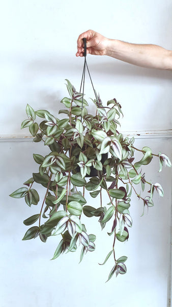 Tradescantsia species hanging plant