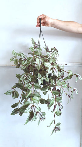 Tradescantsia species hanging plant (more coming soon)