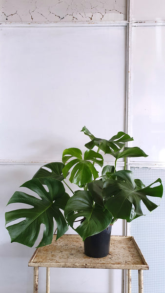 Monstera Delisiosa (one of a kind)