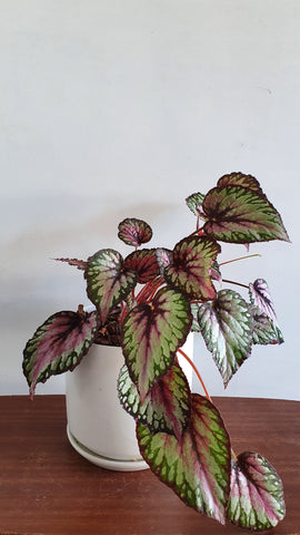 Begonia Rex in White Ceramic Planter(one of a kind)
