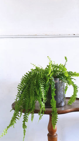 Boston Fern in glass planter (one of a kind)