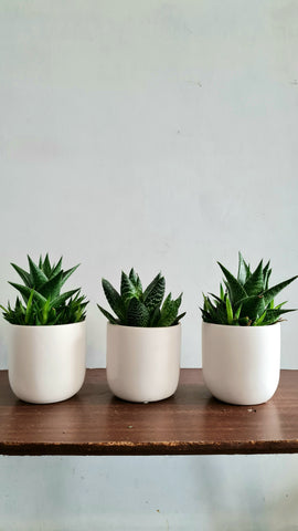 Aloe Gasteria in white ceramic pot
