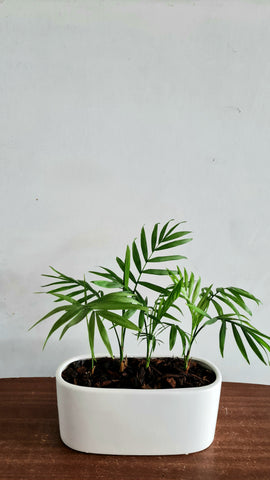 Chamaedorea palm in white ceramc pot