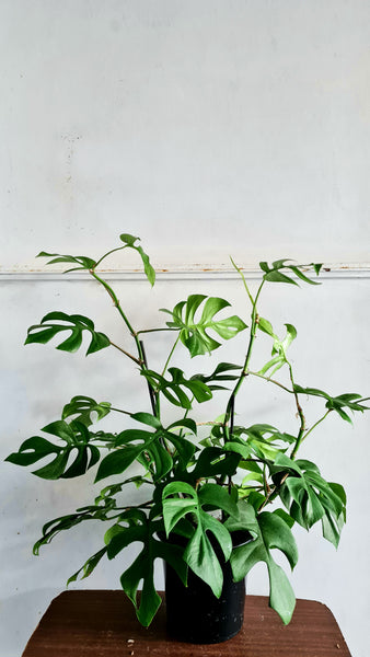 Large Philodendron  Minima  (one of a kind)