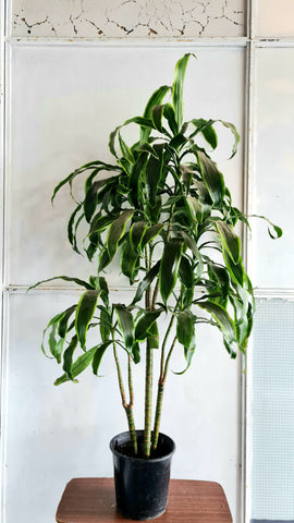 Dracaena - 3 plants (one of a kind)