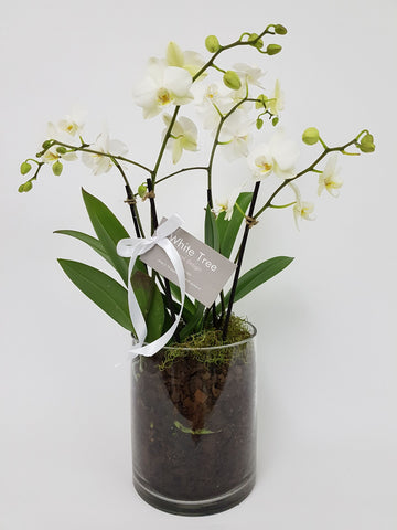 Mini Phalaenopsis Orchid Plants in Cylinder Glass