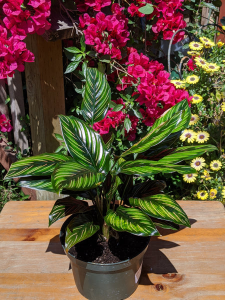 Calathea ornata 'Beauty Star' ~ 6""