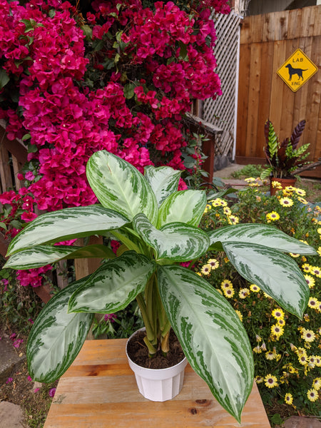 Chinese Evergreen (Aglaonema 'Emerald Bay') ~ 6""