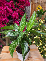 Chinese Evergreen (Aglaonema 'Tigress') ~ 6""