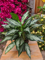 Chinese Evergreen (Aglaonema 'Mystic Marble') ~ 6""