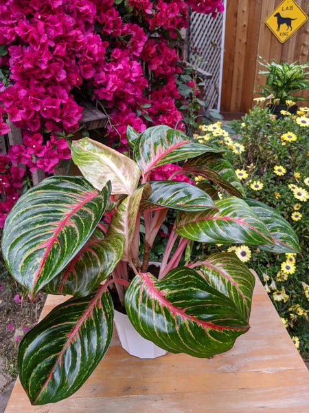 Chinese Evergreen (Aglaonema 'Red Emerald') ~ 6""
