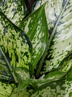 Chinese Evergreen (Aglaonema 'Snow White') ~ 6""