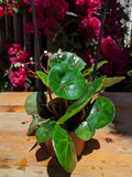 Red Ruby Begonia (Begonia conchifolia) ~ 4""