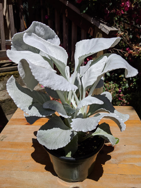 Angel Wings (Senecio candicans 'Senaw') ~ 6""