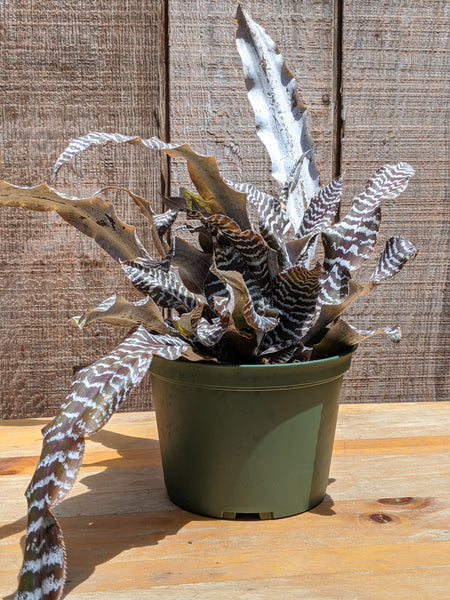 Cryptanthus hybrid (Brown and White) ~ 6""