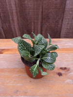 Fittonia albivenis (White) ~ 4""