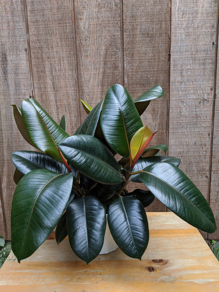 Rubber Tree (Ficus elastica) ~ 6""