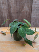 Philodendron micans ~ 4""