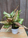 Chinese Evergreen (Aglaonema 'Valentine' Light Pink) ~ 6""