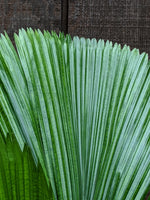 Fan Palm (Licuala grandis) ~ 10""