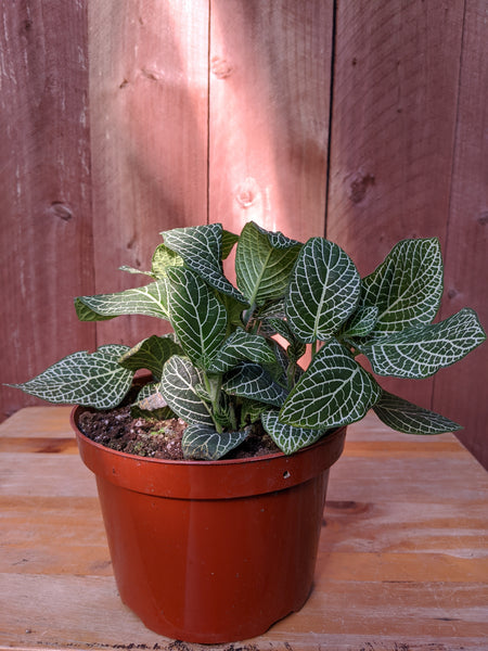 Fittonia albivenis (White) ~ 6""