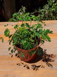 Sensitive Plant (Mimosa pudica) ~ 4""