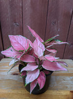 Chinese Evergreen (Aglaonema 'Favonian') ~ 6""