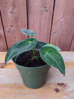 Anthurium forgetii ~ 6""