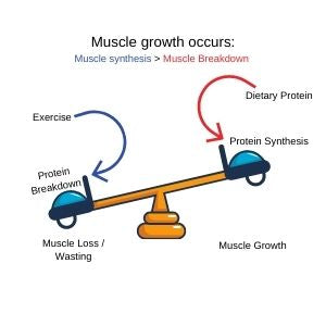 Muscle Synthesis diagram comparing muscle loss and muscle growth