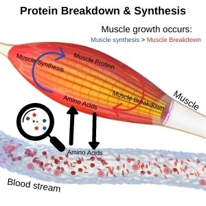 Amino acids being transferred between the muscle tissue and blood stream