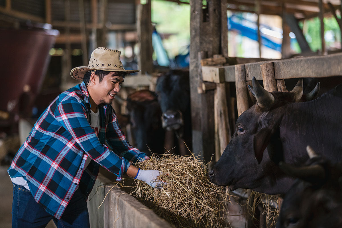 What is fed to Japanese Wagyu?