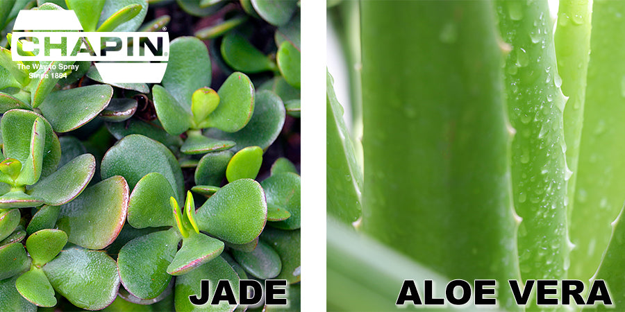 Close up of Jade plant leaves on left and aloe vera on right, comparison pictures