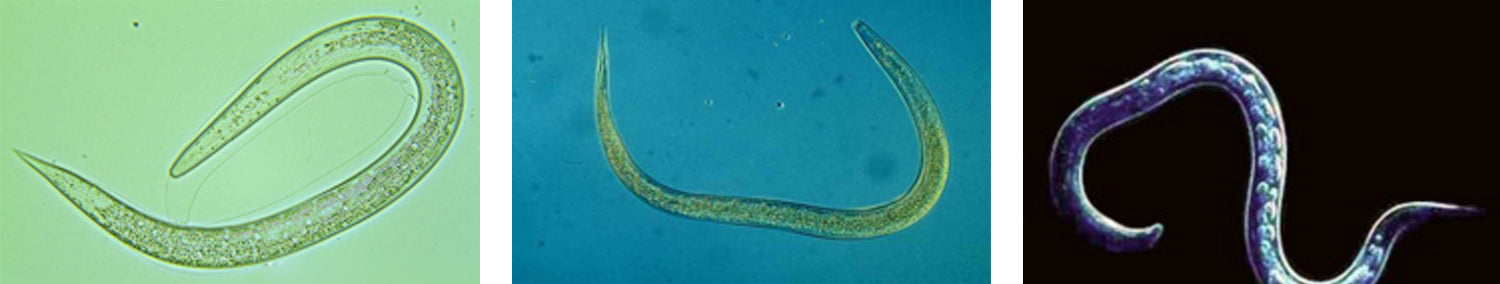 Nematode Species - 3 images