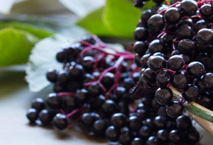 Health Benefits of European Black Elderberry Fruit or Sambucus Nigra