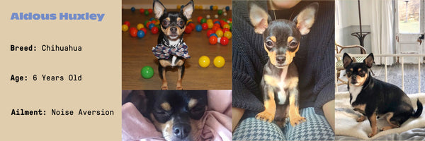 Cute chihuahua, aged 8, who suffers from noise aversion