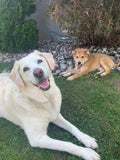 Cute yellow lab sitting with another cute dog