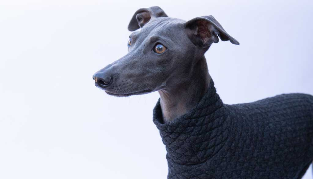 Italian Greyhound Clothing