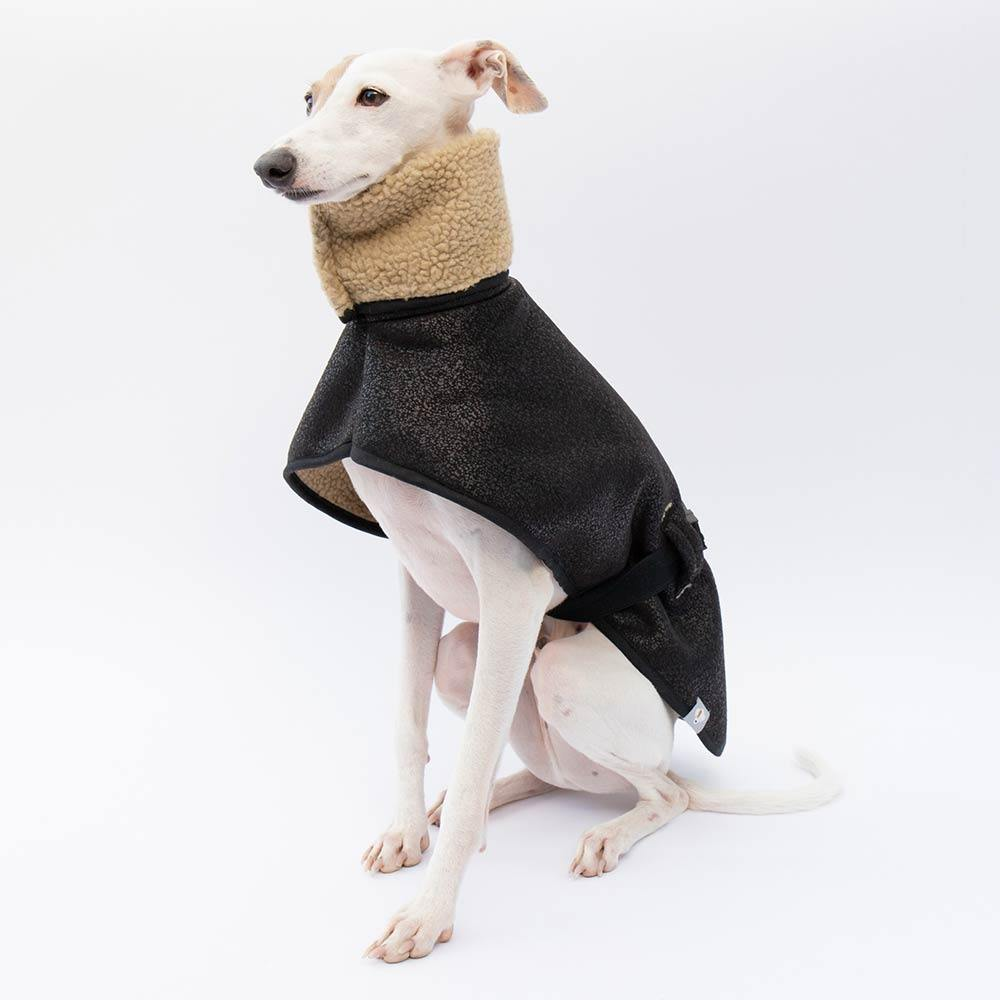 Italian Greyhound Aviator Coat Sitting Rufio