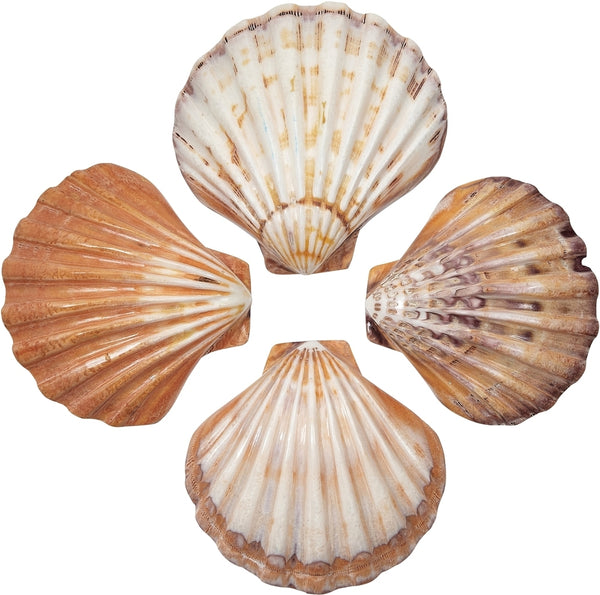 "2 Lions Paw Decorative Seashells - Orange Polished 5-6"" (set Of 2)"