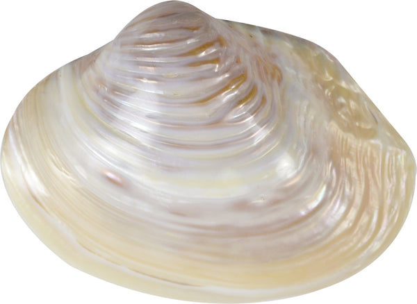 "2 Pink Mussel Seashells 6-8"" (set Of 2)"