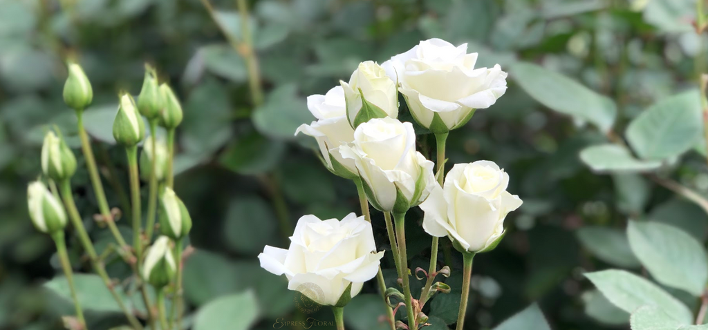 April Flower Of The Month The Stunning White Diamond Rose!