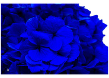 Load image into Gallery viewer, preserved-blue-hydrangea-empress-flora-las-vegas