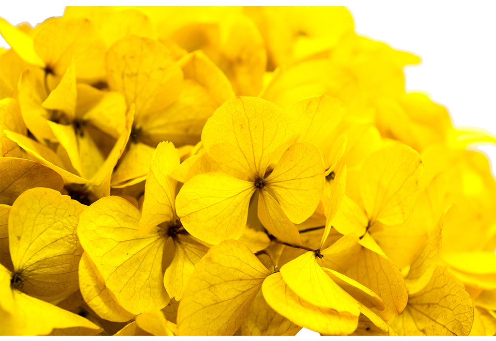 Fancy Yellow Hydrangea Preserved to stay beautiful for 1 year or more