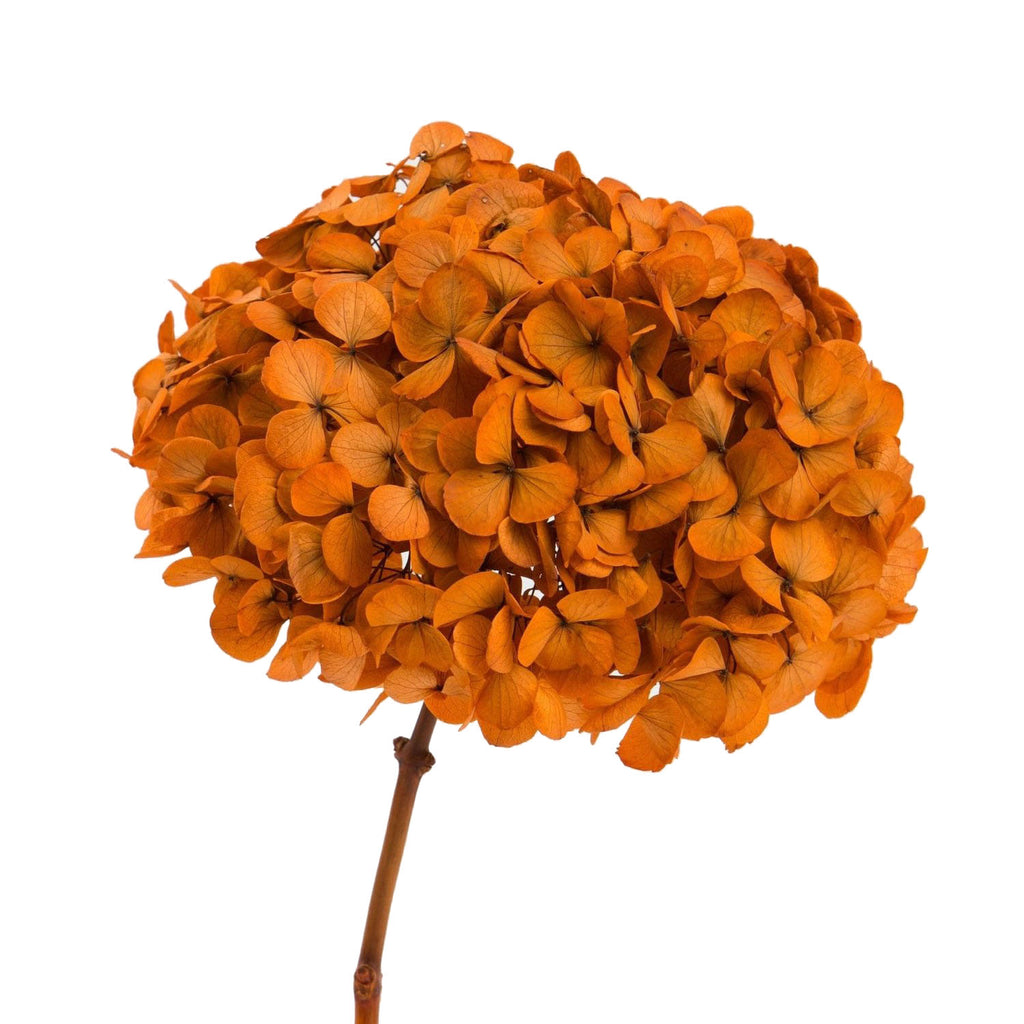 Festival Orange Hydrangea Preserved to stay beautiful for 1 year or more