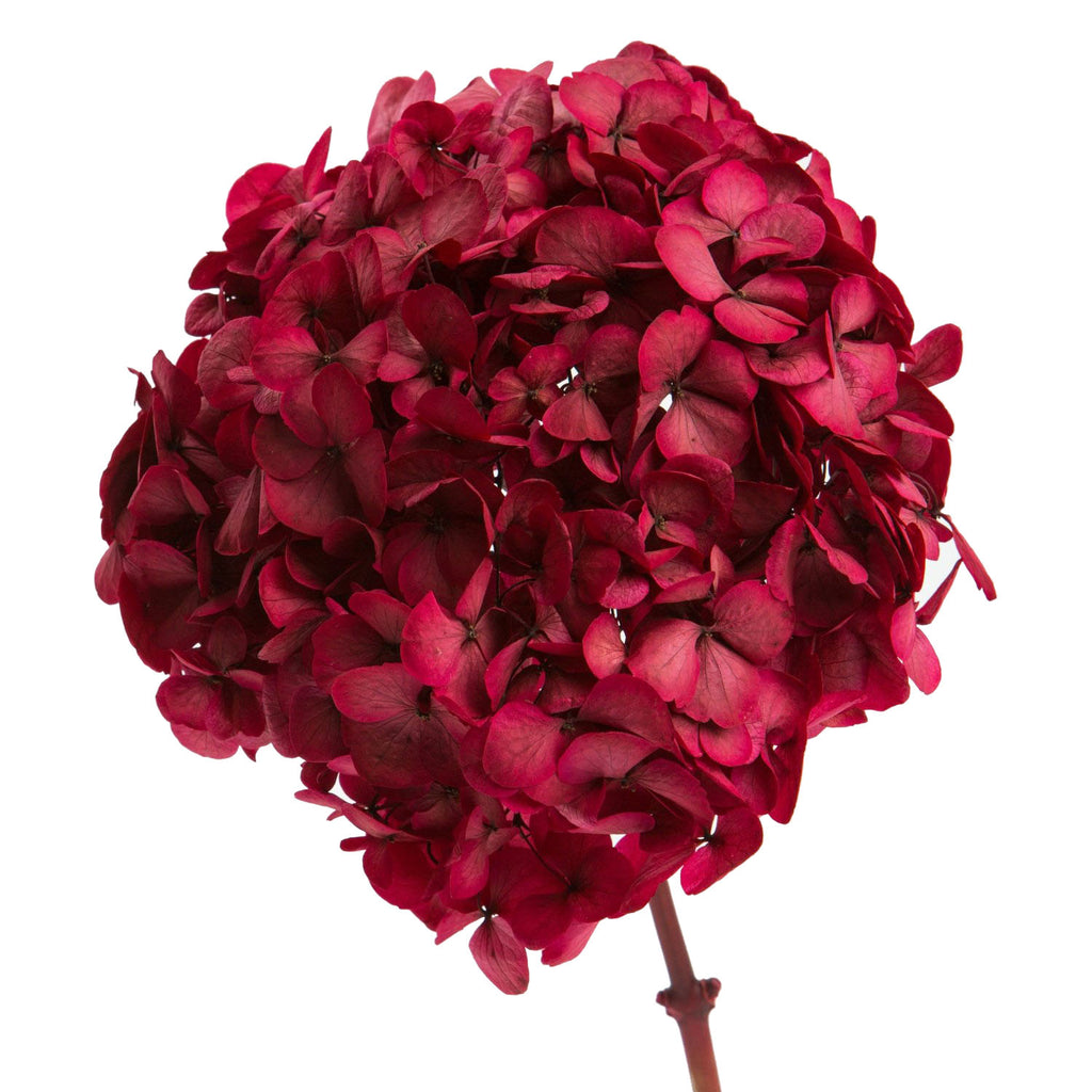 Sensation Red Hydrangea Preserved to stay beautiful for 1 year or more