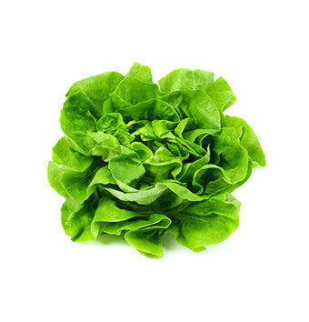 Boston Hydroponic Lettuce